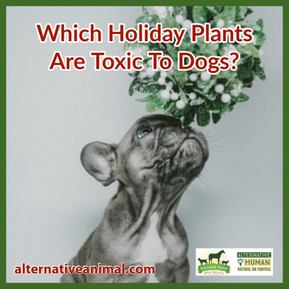Holiday Plants Toxic to Dogs