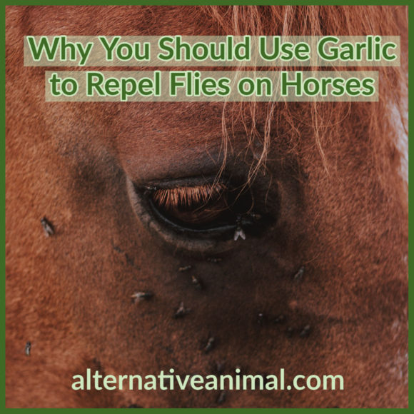 garlic to repel flies on horses
