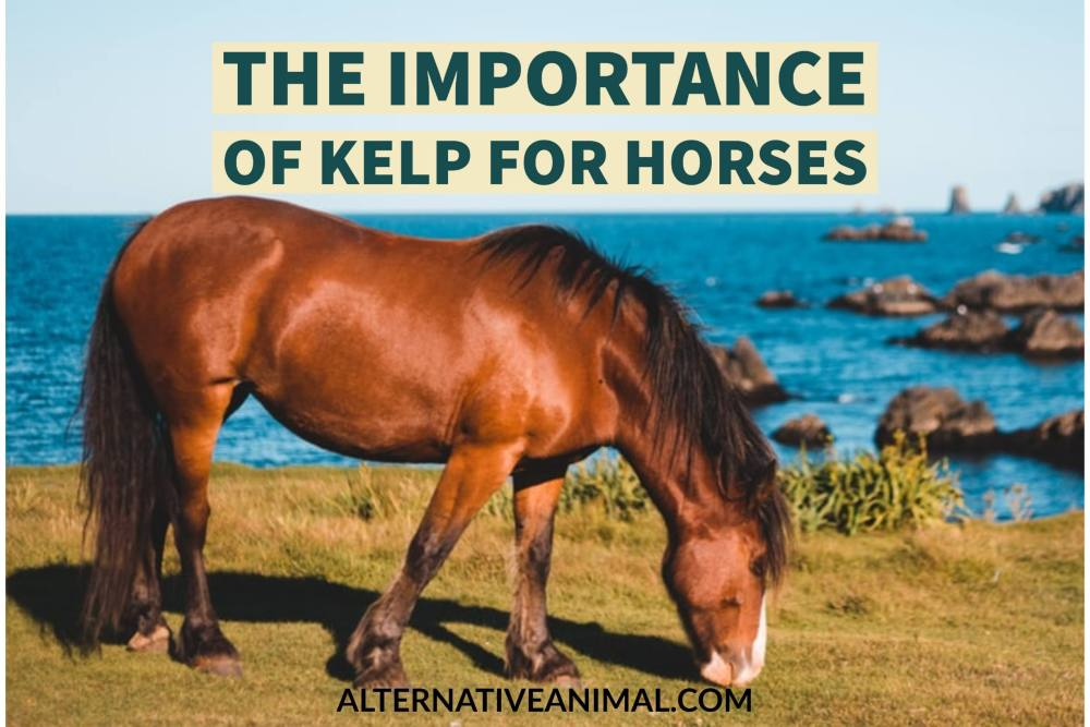 Importance of kelp for horses