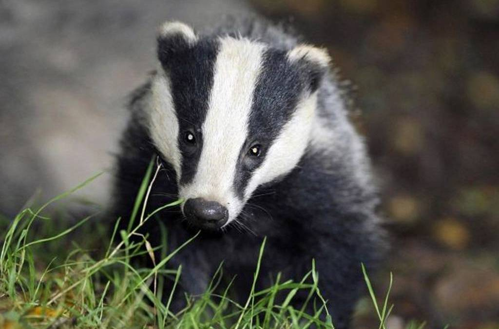 Feast for the Badgers