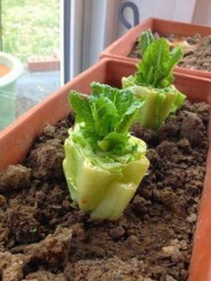domaci-zelenina-61