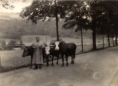 Ochsen mit Hütefrau am Ortsausgang Richtung Roßbach auf Höhe des jetzigen REWE-Marktes um 1925 Im Hintergrund das Strandbad links