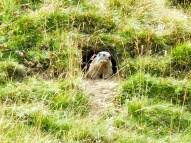 Marmotte intéressée par le spectacle