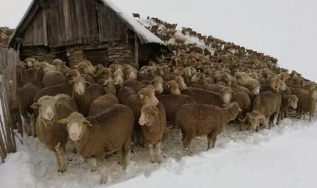 moutons bloqués par la neige