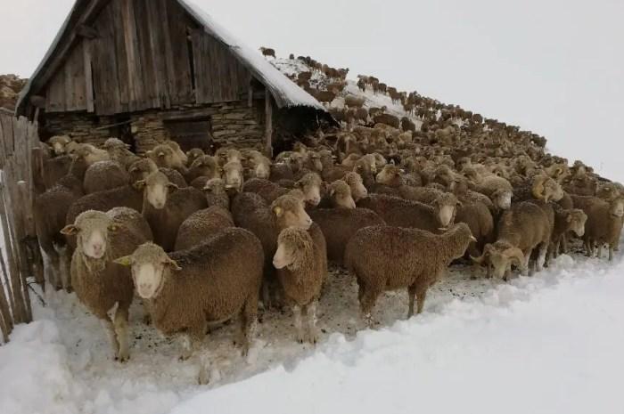 7.000 bêtes bloquées par la neige au Col du Glandon !
