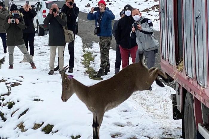 8 bouquetins viennent d'être lâchés dans les Pyrénées ariégeoises !