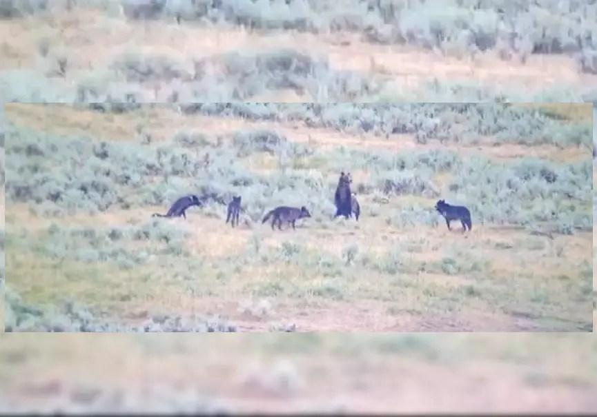 des loups chassent des oursons