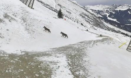 loups Saint Gervais