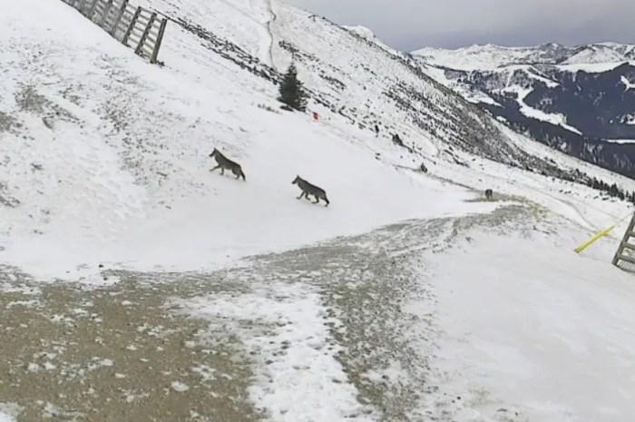 Des loups sur les pistes de ski désertes de Saint Gervais Mont-Blanc !