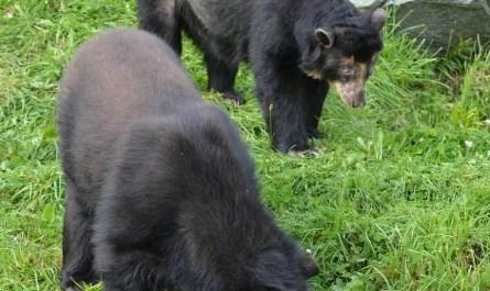 ours à lunettes