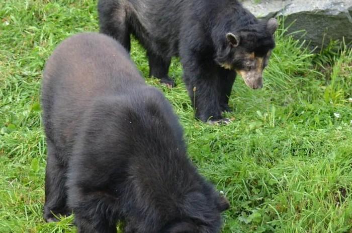 Des ours à lunettes visitent le Machu Picchu en l'absence de touristes