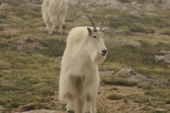 Quand un parc national veut éradiquer la chèvre des montagnes