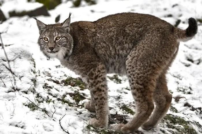 Les lynx du Jura menacés par les collisions avec des voitures