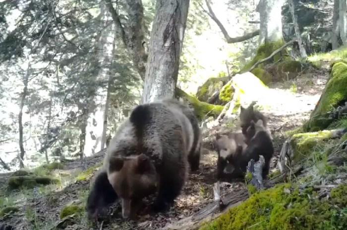 Les oursons du printemps font leur apparition dans les Pyrénées !