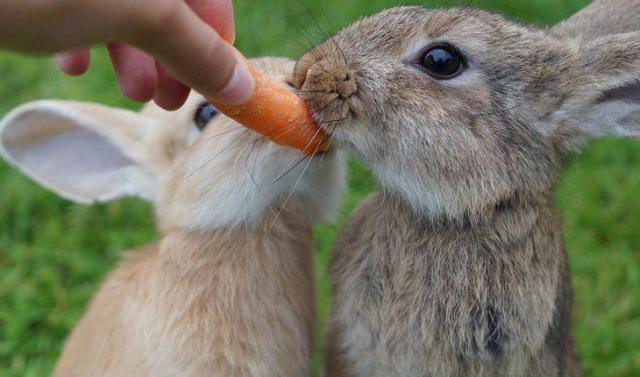 Curiosidades sobre coelhos. Na foto, dois coelhos comendo uma cenoura