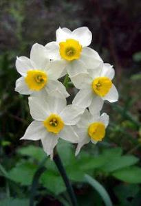 27 aprilenarcissus tazetta giunchiglia.jpg
