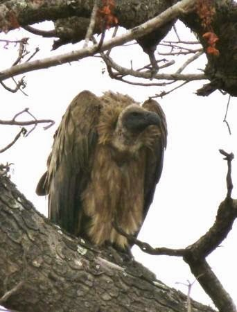 vulture-in-tree