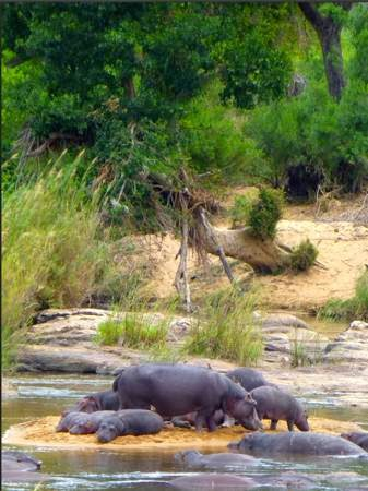 Hippos-and-babies-on-small-sand-island