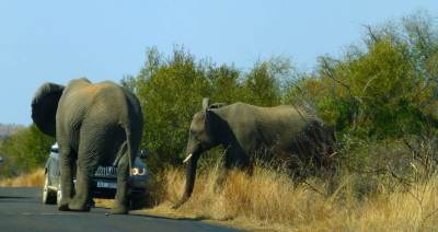 pilanesberg-elephants-charge-BMW-4x4