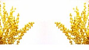 mimosa-festa-della-donna-bg