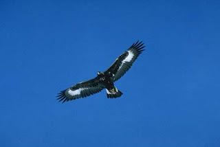 Aquila reale, esemplare giovane