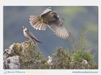 Falco lanario (ph. Bruno D'Amicis)