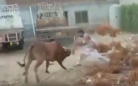 بالفيديو.. ثور شرس ينتقم من جزاره أثناء محاولة ذبحه