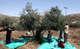 الزراعة تحدد 12 - 10 المقبل موعدا لقطف الزيتون وتشغيل المعاصر