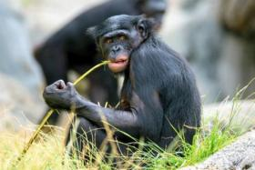 """مشاهدات مليونية لمقطع """"شمبانزي"""" يستعرض صورًا من هاتف ذكي"""