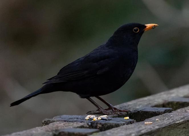 طائر أسود يهاجم الرجال ويستثني النساء (شاهد)