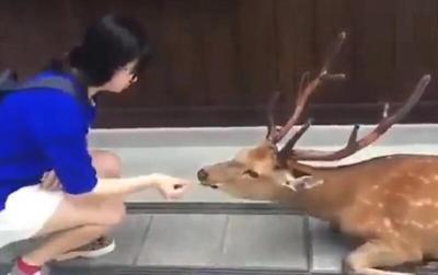 غزال يحيي فتاة يابانية تقدم له الطعام (شاهد)