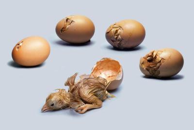 """الزراعة: قطاع غزة يحتاج إلى 3 ملايين """"بيضة تفقس"""" ليتم إنتاج الدجاج"""