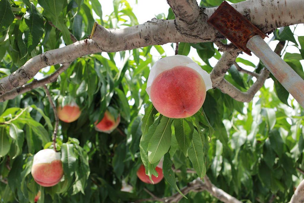 サンクトガーレン「7種の桃のエール」