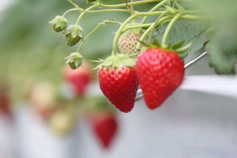 東松島の苺