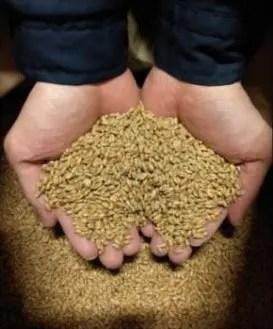 麦の研究栽培の様子と製麦した小麦の麦芽