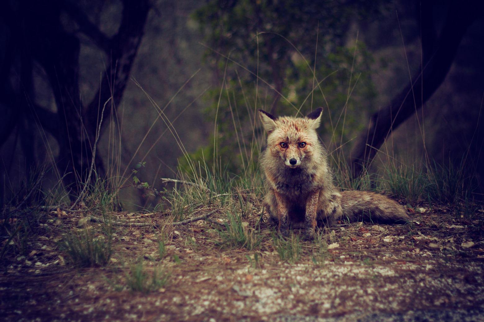 nqr33LlRR66jA3Ez9mX7_fox-in-the-forest-by-jose-inesta