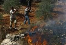 مكتب الأمم المتحدة: المستوطنون أحرقوا 1000 شجرة زيتون في الضفة الغربية خلال أسبوعين
