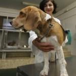 Prueban vacuna contra el Alzheimer en perros