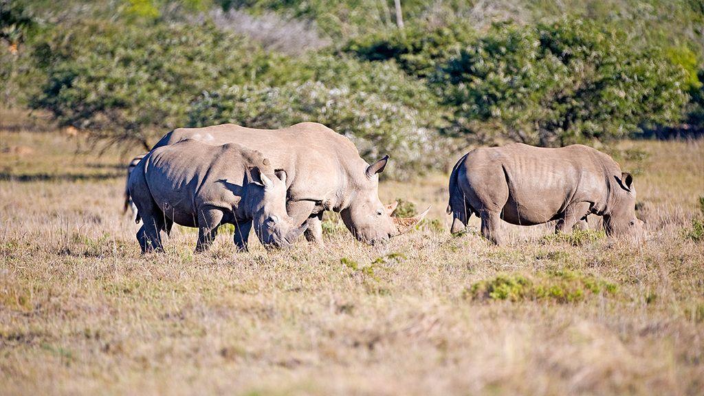 Carnarvon Dale White Rhino