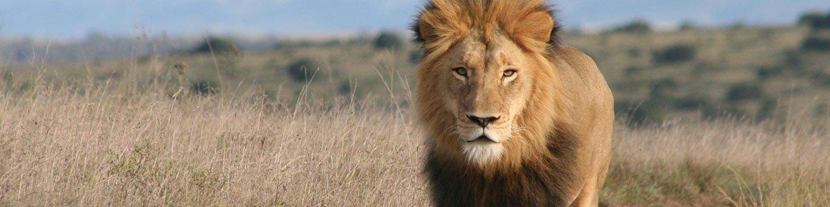 Amakhala   5 Star Accommodation   Lion Banner