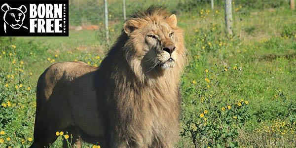 Amkhala   Born Free   Lion