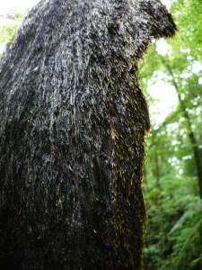 ヒカゲヘゴの根