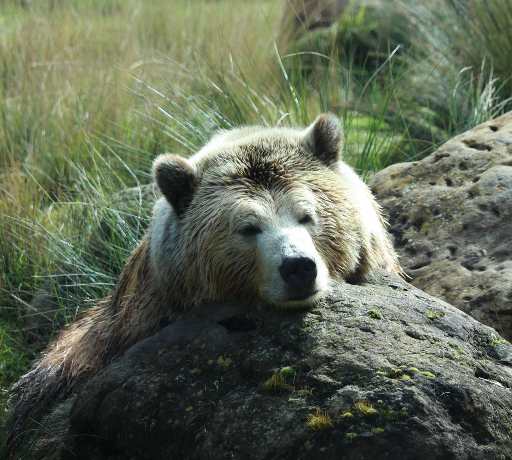 Animal totem bear symbolism amanda gatlin biocorpaavc Choice Image