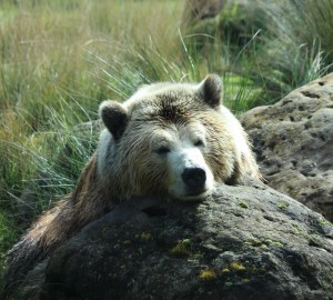 Animal Totem Bear Symbolism
