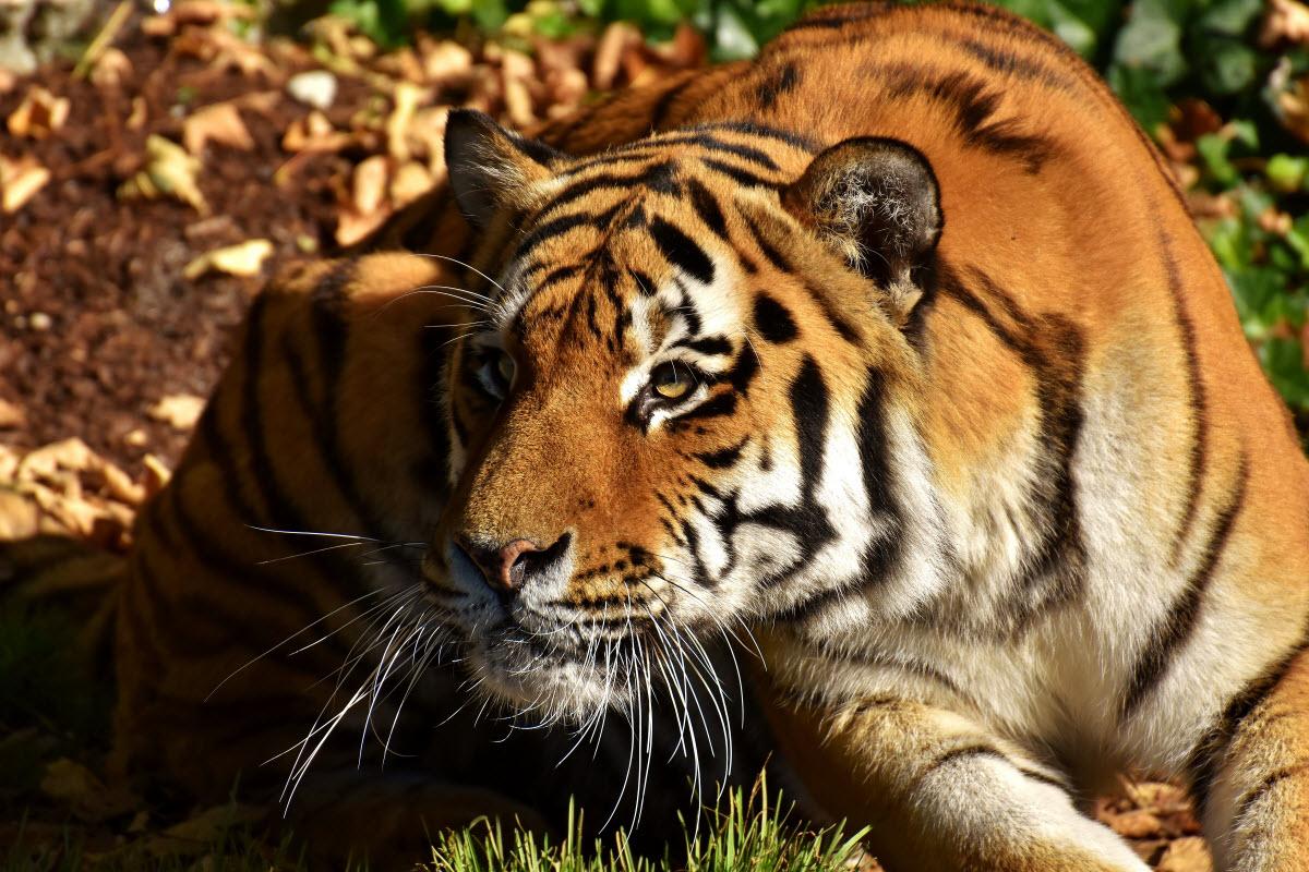 Animal Totem- Tiger Symbolism