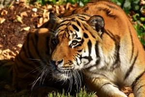 Animal Totem Tiger Symbolism
