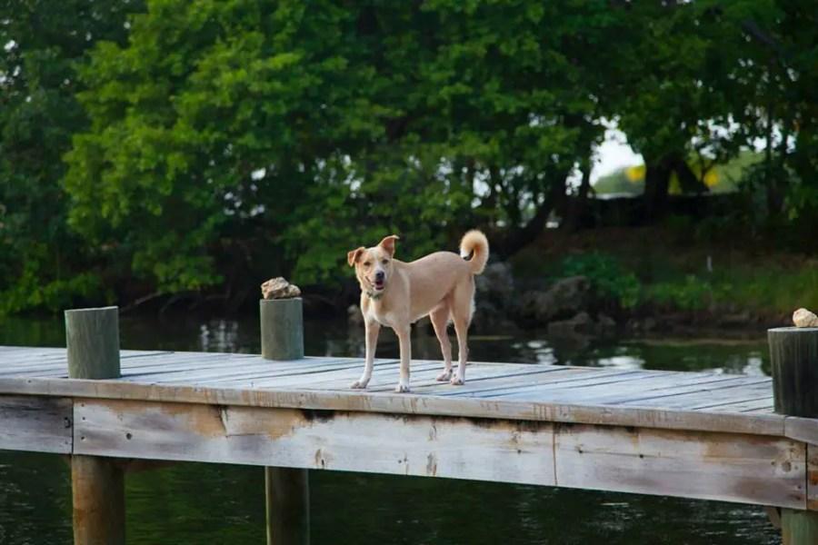 Roatan island dog