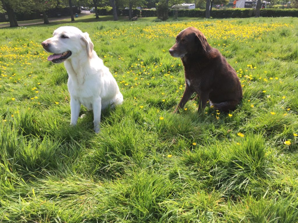 Two Labrador retrievers, one yellow and one brown, sitting side by side in a grassy field with small yellow flowers