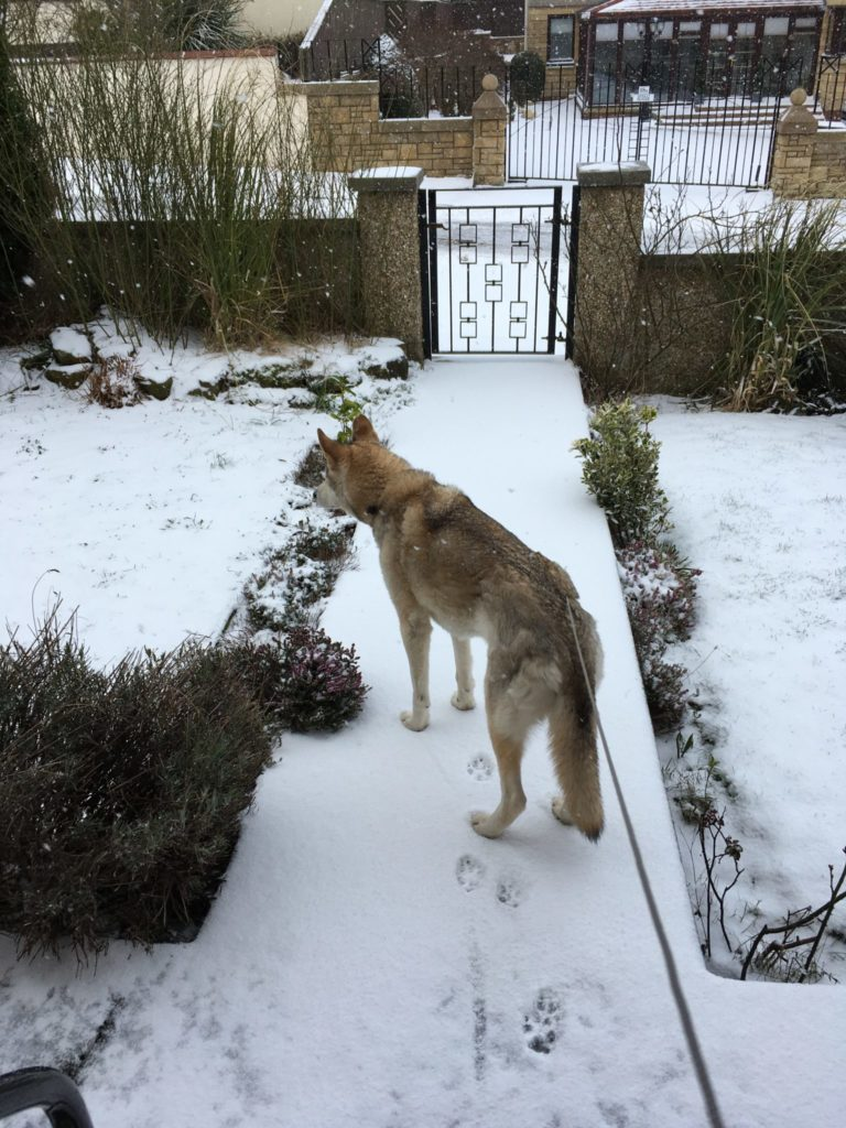 A Husky dog on a leash held by an out-of-sight dogsitter, standing on a snowy front path leading to a gate.