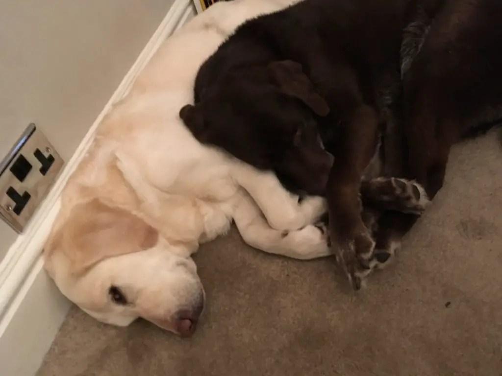 two labrador retrievers cuddling on a carpeted floor